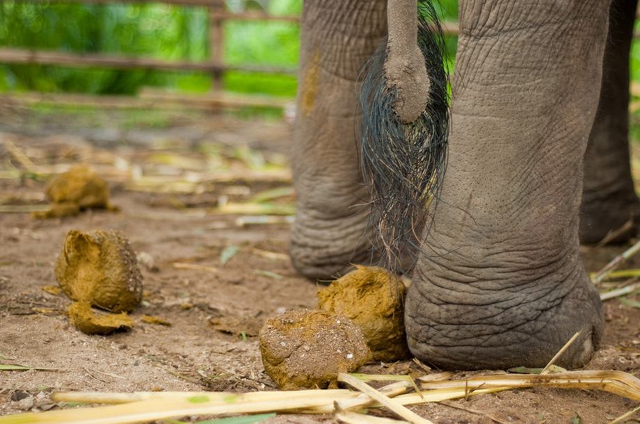 elephant tail with dung
